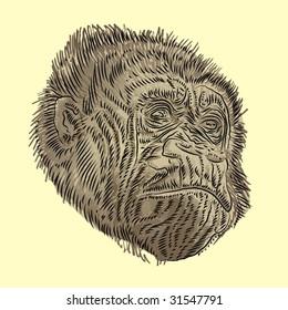 Gorilla portrait sketch.