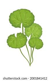 Gotu Kola leaf ( Asiatic pennywort, Indian pennywort, Centella asiatica ) isolated on white background. Icon vector illustration.