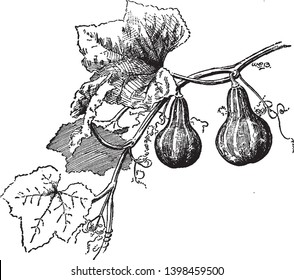 Gourd is any of various hard-rinded inedible fruits of plants often used for ornament or for vessels and utensils, vintage line drawing or engraving illustration.