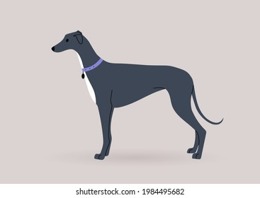 A graceful black greyhound dog standing in a side view, domestic pets theme