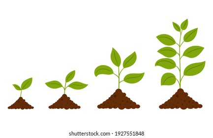 Gradual growth of the plant. The scheme from the sprout to the adult plant. A simple deciduous plant. Botanical vector illustration, isolated on a white background