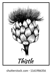 Grafic work, plant thistle flower illustration, vector isolated background, with inscription