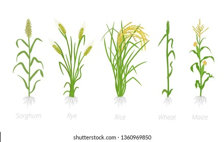 Grain cereal agricultural crops. Sorghum rye, rice maize and wheat plant. Vector illustration. Secale cereale. Agriculture cultivated plant. Green leaves. Flat color Illustration clipart on white