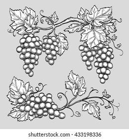 Grape branches. Hand drawn vector illustration.