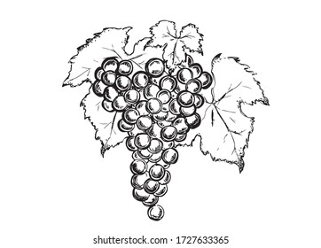 Grape hand drawn graphic illustration.