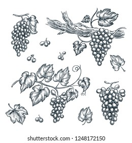 Grape on vine vector sketch illustration. Hand drawn isolated design elements.