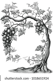 Grape tree hand drawing vintage engraving illustration on white background