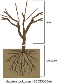 Grape vine plant: scion is grafted onto the rootstock