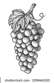 Grapes hand drawn engraving style illustration