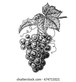 Grapes. Realistic vector illustration plant. Hand drawing berries. Fruit, leaf, branch isolated on white background. Decoration products for health and beauty. Vintage black and white engraving.