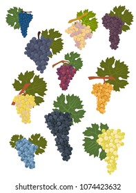 Grapes varieties for wine. Winemaking infographic. Vector illustration
