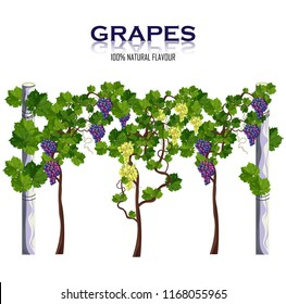 Grapes vine isolated on white Vector. Growing harvests