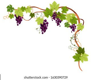 Grapevine frame, angled. Beautiful vining plant with grapes, tendrils and leaves, purple shiny ripe fruit growing. Vineyard, harvest for winemaking. Colourful vector illustration on white background.