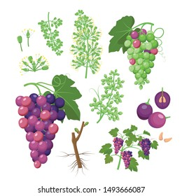 Grapevine growth set of infographic elements isolated on white, flat design illustrations. Planting process of grape from seeds, bud break, flowering, fruit set, veraison, harvest, ripe grape bunch.