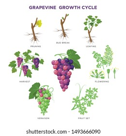 Grapevine plant growing infographic elements isolated on white, illustrations flat design. Planting process of grape from seeds, bud break, flowering, fruit set, veraison, harvest, ripe grape bunch.