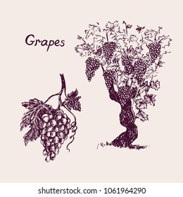 Grapevine tree and bunch of grapes with leaf, inscription, hand drawn doodle, drawing suitable for wine label design, sketch in pop art style, black and white vector illustration