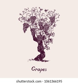 Grapevine tree with inscription, hand drawn doodle, drawing suitable for wine label design, sketch in pop art style, black and white vector illustration