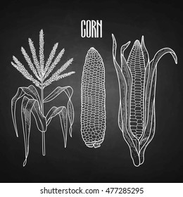 Graphic corn collection drawn in line art style. Traditional Thanks Giving Day food isolated on the chalkboard