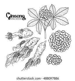 Graphic ginseng root and berries drawn in line art style. Herbal medicine. Vector plants isolated on the white background in black colors. Coloring book page design for adults and kids.