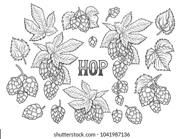 Graphic hops collection drawn in engraving technique. Vintage vector natural design isolated on white background. Coloring book page