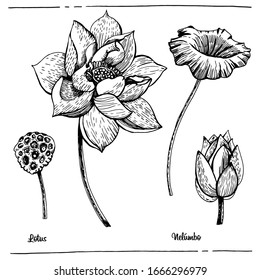 Graphic illustration Lotus. Vector illustration. Manual graphics. Botanical sketch.