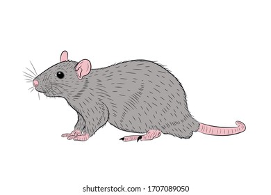 Graphic illustration of a realistic grey rat in isolate on a white background. Vector illustration.