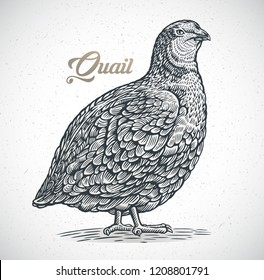 Graphic image of quail in engraving style.