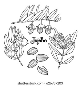 Graphic jojoba collection isolated on white background. Coloring book page design for adults