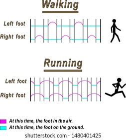 Graphic representation of the movements of the legs of a person during walking and running.