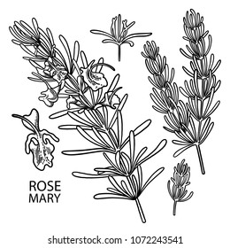 Graphic rosemary set isolated on white background. Natural vector spices. Coloring book page for adults and kids