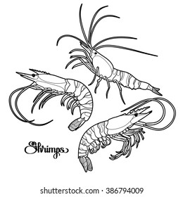 Graphic vector shrimps collection drawn in line art style. Sea and ocean creatures isolated on white background. Seafood element. Coloring book page design for adults and kids