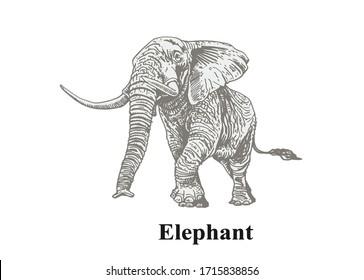 Graphical grey elephant isolated on white background, vector illustration