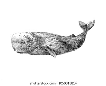 Graphical hand painted whale isolated on white background. Vector illustration. Sperm whale and humpback whale