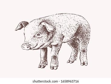 Graphical illustration of pig, vector  sepia illustration, farm animal
