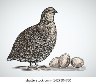 Graphical quail in engraving style and quail eggs