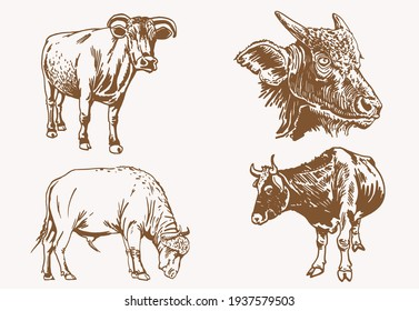 Graphical  sepia set of cows,vintage background,vector illustration
