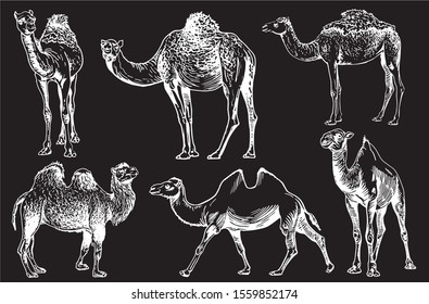 Graphical set of camels  isolated on black background,vector engraved illustration