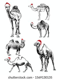 Graphical set of  camels in Santa Claus hat isolated on white background,vector illustration