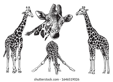 Graphical set of giraffes isolated on white  background,vector illustration