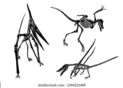 Graphical set of pterodactyl skeletons isolated on white ,vector illustration,tattoo.