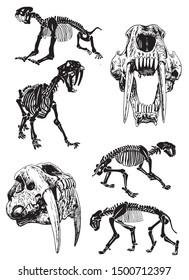 Graphical set of skeletons of saber-toothed tiger on white background,vector illustration, anthropology