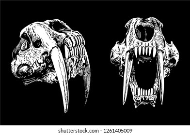 Graphical set of skulls of saber-toothed tiger isolated on black background ,vector sketch