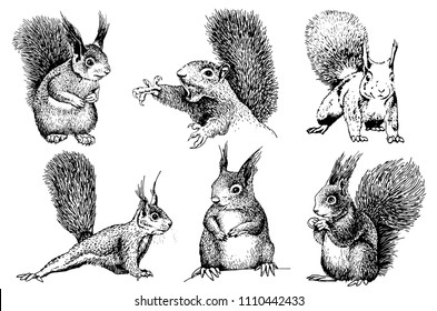 Graphical set of squirrels isolated on  white background, vector sketch,tattoo ,printing
