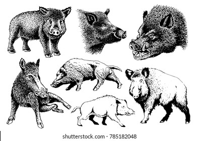 Graphical set of wild hogs isolated on white background,vector illustration