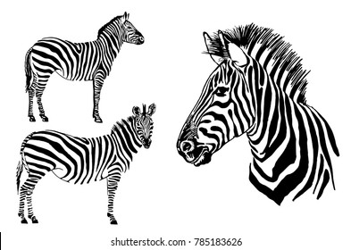 Graphical set of zebra isolated on white background,vector illustration