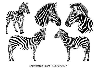 Graphical set of zebras  isolated on white background,vector hand-drawn illustration for tattoo and printing