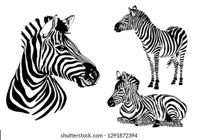 Graphical set of zebras isolated on white background, vector striped  illustration