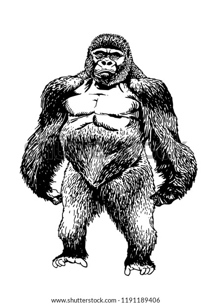 e85782dcf Graphical sketch of gorilla isolated on white background,vector tattoo  illustration