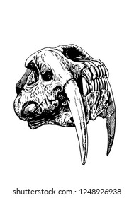 Graphical skull of saber-toothed tiger isolated on white background ,vector sketch