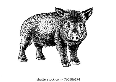 Graphical small wild hog isolated on white background,sketchy illustration